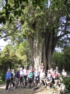 WOW at big totara